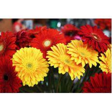 Gerbera İthal Jerbera Çiçeği 20-30 Cm