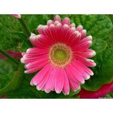 Gerbera Çiçeği Jerbera Çiçeği 20-30 Cm