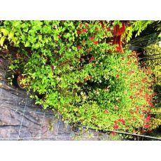 Haseki Küpesi Çiçeği 15-20 Cm