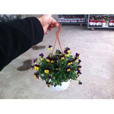 Hercai Menekşe Mini Çiçekli Viola Tricolor Askılı Saksıda