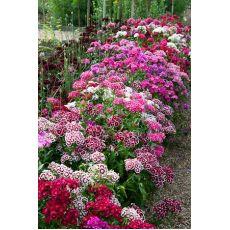 Hüsnü Yusuf Çiçeği Hüsnüyusuf Dianthus barbatus 15-20 Cm
