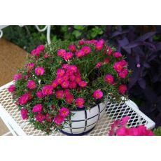 Kedi Tırnağı İpek Çiçeği Portulaca Grandiflora 45 Adet Fiyatımızdır