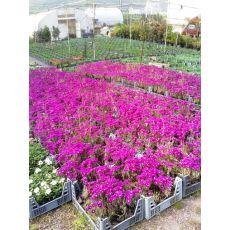 İzmir Güzeli Çiçeği Kasada 45 Adet Fiyatımızdır