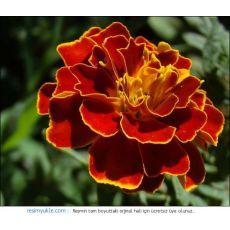 Kadife Çiçeği Karagöz Kasada 45 Adet Fiyatımızdır
