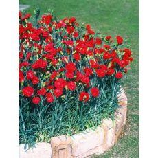 Karanfil Çiçeği Kokulu Dianthus caryophyllus 20-25 Cm Çapı