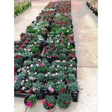 Karanfil Çiçeği Kokulu Dianthus caryophyllus 15-20 Cm Çapı