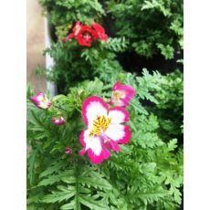 Kelebek Rüyası Çiçeği