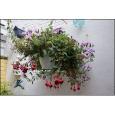 Küpeli Çiçeği Fuchsia Askılı Saksıda
