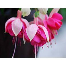 Küpeli Çiçeği Fuchsia  Saksıda 15-20 Cm Çapında