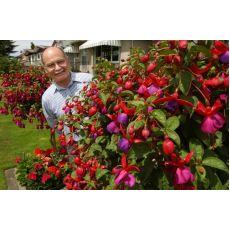 Küpeli Çiçeği Fuchsia  40 Adet Fiyatımızdır
