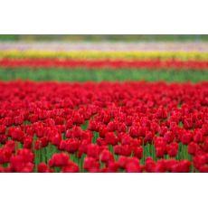 Lale Çiçeği Tulipa  10 Adet Fiyatıdır