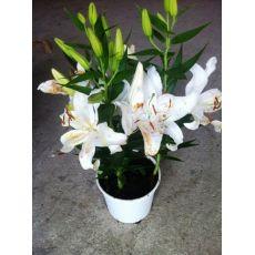 Zambak Lilyum Çiçeği Beyaz Çiçekli Kokulu