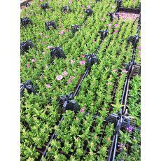 Mine Çiçeği Yayılıcı 45 Adet Fiyatımızdır
