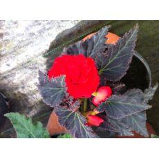 Non Stop Begonya Çiçeği Katmerli