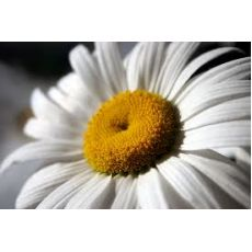 Papatya Çiçeği Beyaz Matricaria Chamomilla