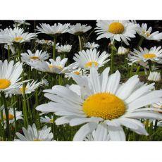 Beyaz papatya Çiçeği Matricaria Chamomilla Kasada 45 Adet Fiyatımızdır