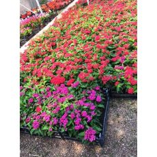 Pentas Çiçeği Beşiz Çiçeği Saksıda