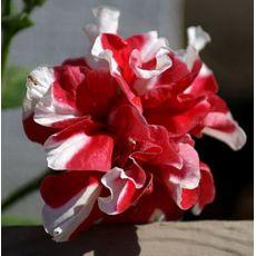 Petunya Çiçeği Katmerli 45 Adet Fiyatımızdır