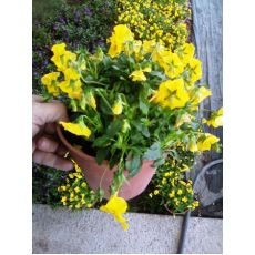 Sarkıcı Petunya Çiçeği Minyatür Askılı Saksıda