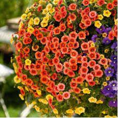 Petunya Çiçeği Mini Çiçekli Petuinen 45 adet Fiyatıdır