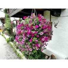 Petunya Çiçeği Askılı Saksıda