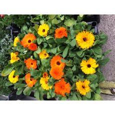 Kalandula Çiçeği Portakal Nergisi Calendula Aynı Sefa 45 Adet Fiyatıdır