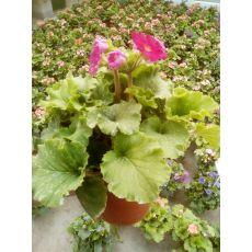 Primula Çiçeği