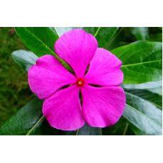 Rozet Çiçeği Vinka Pervane Çiçeği Catharanthus Roseus Saksıda 1 Adet