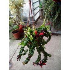 Ruj Çiçeği Kıvırcık Aeschynanthus Radicans