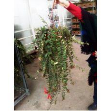 Ruj Çiçeği Uzun Aeschynanthus Radicans