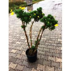 Sarı Papatya Çiçeği 4 Gövdeli Tijli Euryops Pectinatus 120-140 Cm