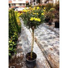 Sarı Papatya Çiçeği Tijli Euryops Pectinatus 130-150 Cm