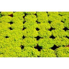Sedum Sukullent Sarı Dam Koruğu Sedum Reflexum 45 adet Fiyatıdır