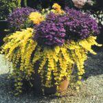 Tek Yıllık Mevsimlik Çiçekler