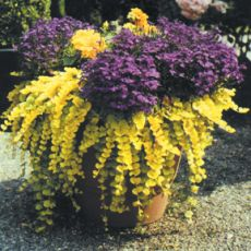 Sarıkız Çiçeği Lysimachia nummularia 45 adet fiyatımızdır