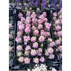 Şebboy Çiçeği Fidanı Kokulu 45 Adet Fiyatımızdır