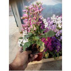 Şebboy Çiçeği Fidanı Kokulu