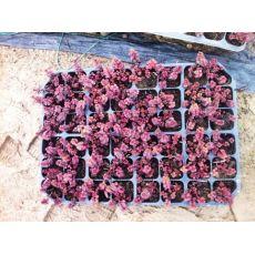 Sedum Bordo Yapraklı Sukulent Dam Koruğu 45 Adet Fiyatımızdır