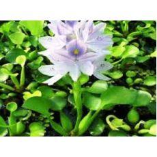 Su Nergisi Narcissus Mavi Çiçekli 30-50 Cm