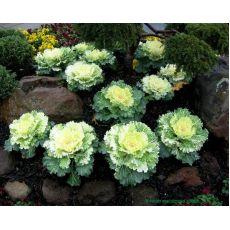 Süs Lahanası Beyaz Çiçekli Brassica oleracea acephala