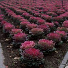Süs Lahanası Saksıda Mor Çiçekli Brassica oleracea acephala