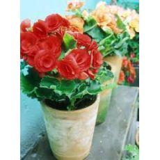 Toran Begonya Çiçeği Katmerli