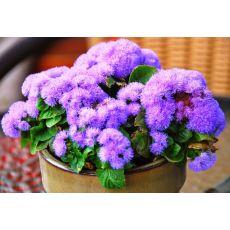 Vapur Dumanı Çiçeği Agaratum 45 Adet Fiyatımızdır