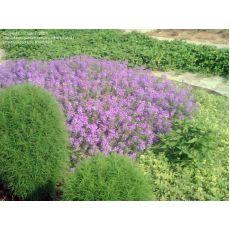 Verbana Mine Çiçeği Yayılıcı 45 Adet Fiyatımızdır