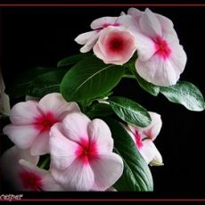 Vinka Çiçeği Catharanthus Roseus 20-25 Cm