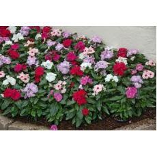 Rozet Çiçeği Vinka Pervane Çiçeği Catharanthus Roseus 48 Adet Fiyatımızdır