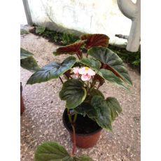 Yağlı Begonya Çiçeği 20-30 Cm
