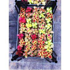 Yaprak Güzeli Çiçeği Kolyoz Coleus blumei 45 Adet Fiyatıdır