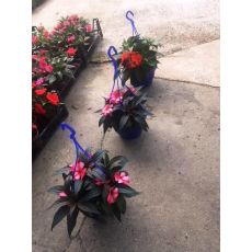 Yeni Gine Çiçeği  Askılı Saksıda İmpatiens