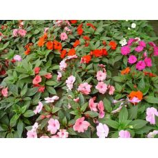 Yeni Gine Çiçeği  İmpatiens